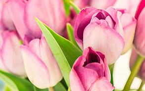 Tulpen in der Zahnarztpraxis Zieglgänsberger, Dietzenbach, Kreis Offenbach, Hessen